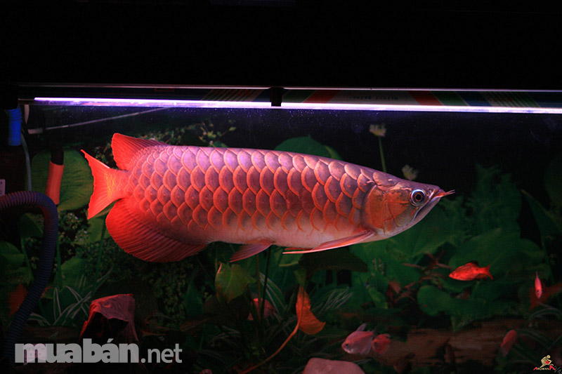 Cá rồng Hồng long