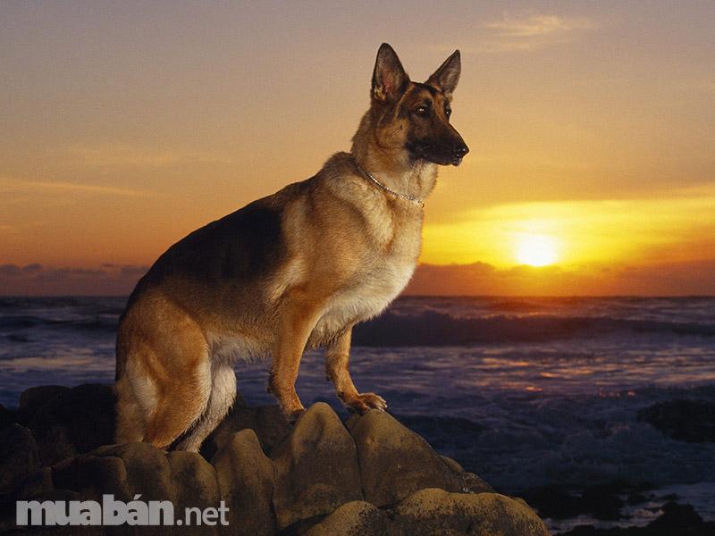 Chó Becgie Đức thuần chủng