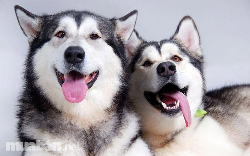 Mua bán chó Alaska thuần chủng