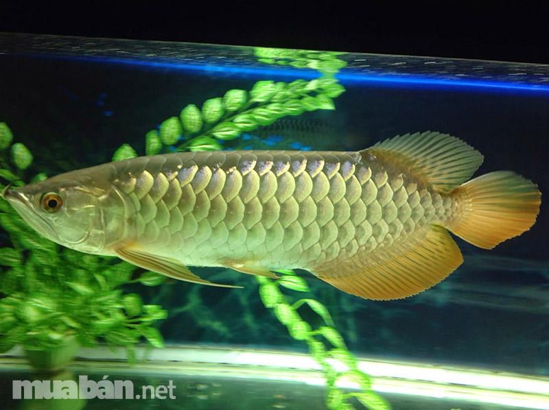 Cá rồng Kim long hùng vỹ