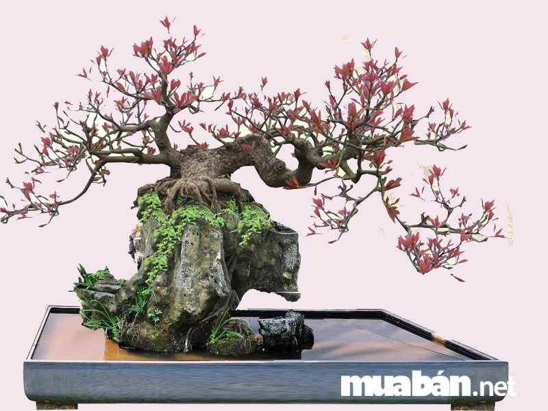 chăm sóc cây cảnh bonsai tại nhà