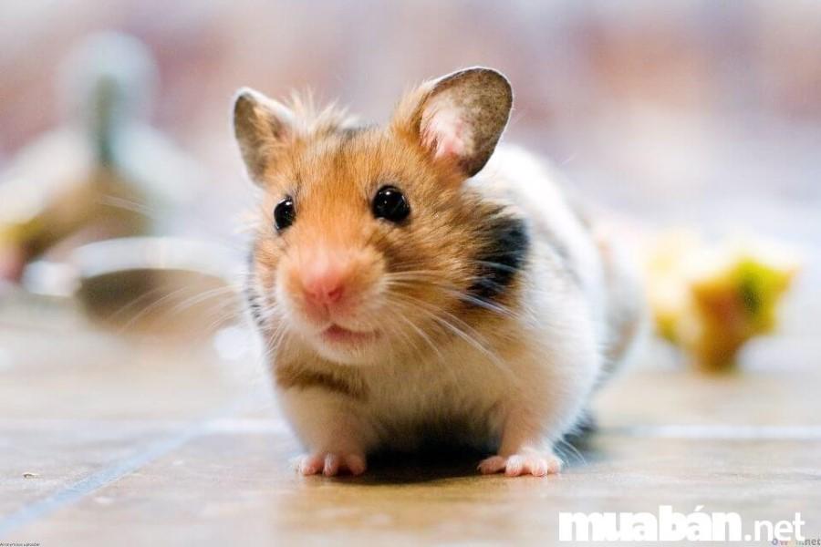 Hamster còn được biết đến với tên là Chuột Lang
