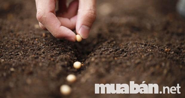 Gieo hạt đúng cách khi sản xuất rau sạch