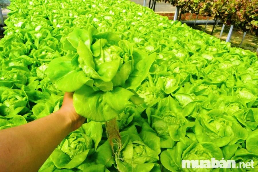 Sản xuất rau sạch đang được chú trọng