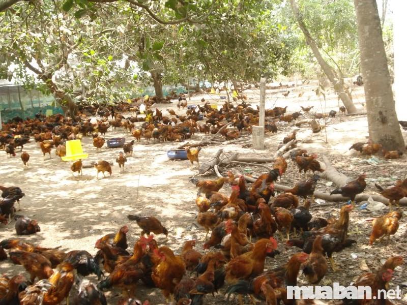 Bãi chăn thả cần đảm bảo một số tiêu chí nhất định để gà được bảo vệ an toàn