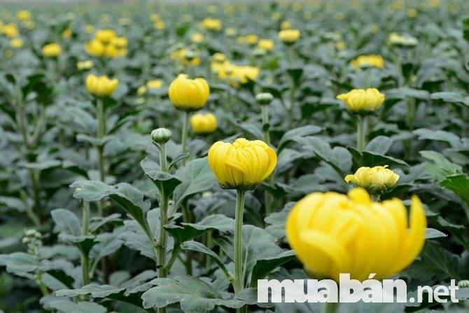 Hoa cúc tượng trưng cho sự trường thọ, có thể héo úa nhưng không bao giờ rụng