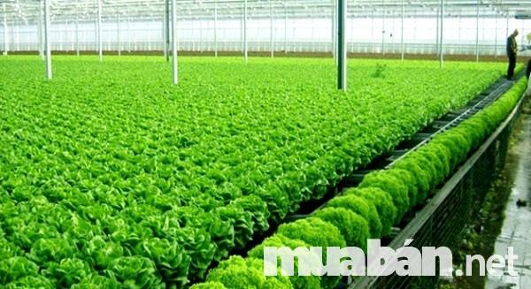 Quy mô công nghiệp trong quá trình sản xuất rau sạch