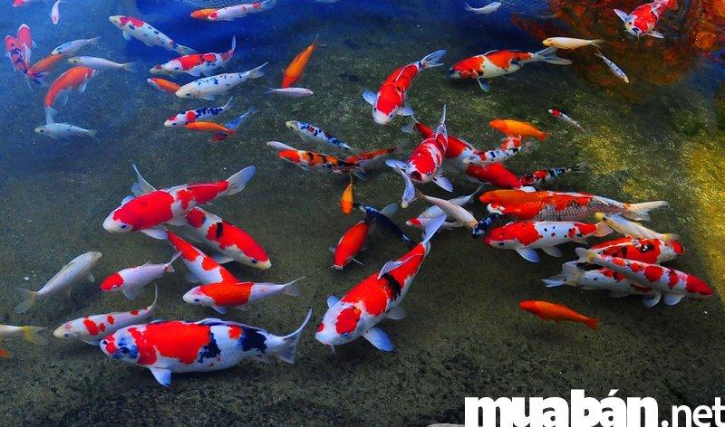 Cá Koi - Cá chép Nhật đẹp mê hồn