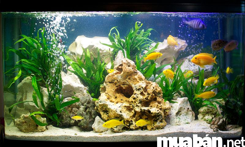 3 loài cá cảnh đẹp mang lại nhiều phú quý may mắn