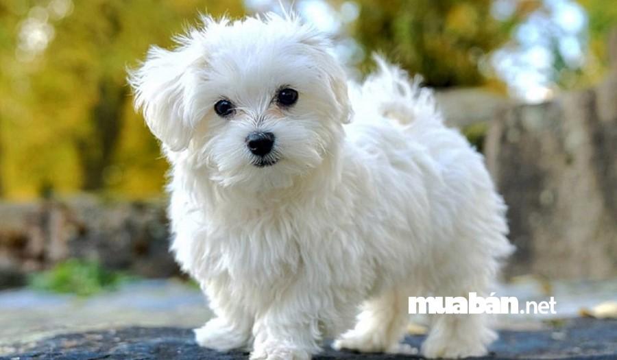 Chó Bichon Frise là một giống chó nhỏ, đáng yêu.