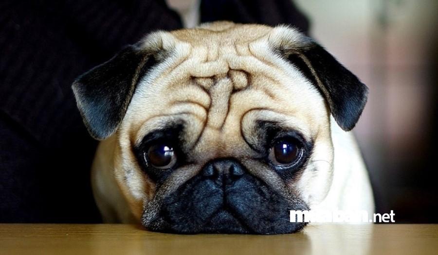 Chó Pug mặt xệ nhưng vô cùng hiền lành, dễ nuôi.