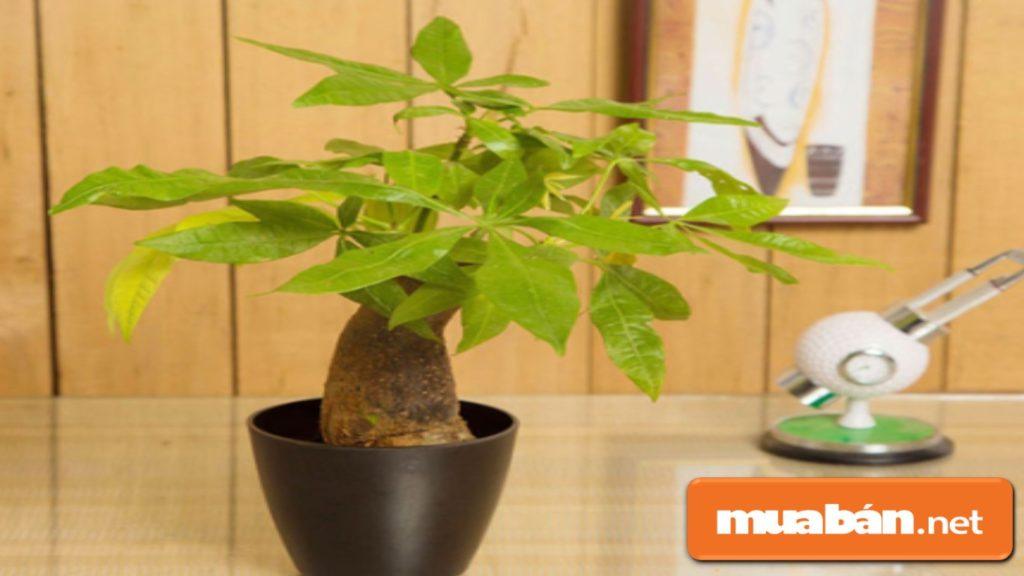 Bạn nên lựa chọn trồng cây phong thủy theo tuổi mà có thể ngắm cả lá, kích thước cây vừa phải.
