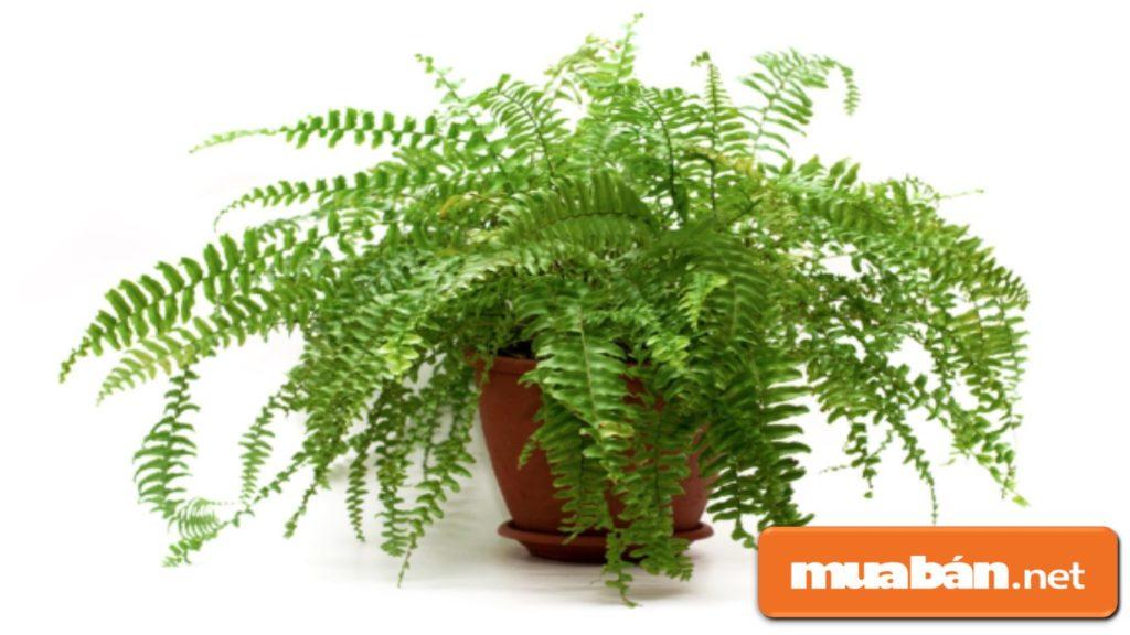 Cây họ quyết như dương xỉ là cây thuộc tính âm, không nên trồng trong nhà.