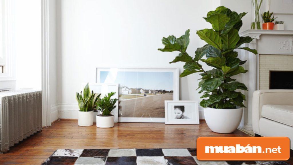 Trồng cây phong thủy theo tuổi nên chọn loại cây có lá to để mang đến tài lộc cho gia chủ.