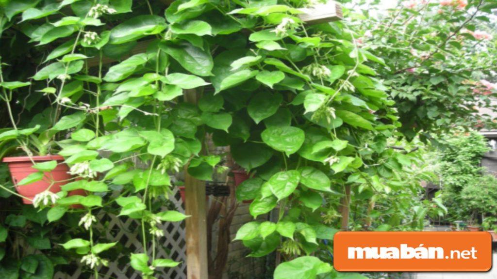 Bạn không nên trồng cây có hương thơm nồng như thiên lý..., tránh gây mất ngủ hoặc khó thở...
