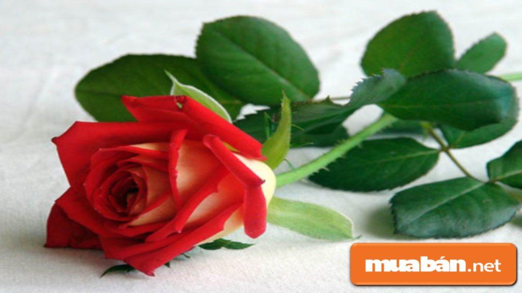 """Nếu bạn tặng nàng 1 bông hồng thì có ý nghĩa là """"trong trái tim anh chỉ có mình em""""."""