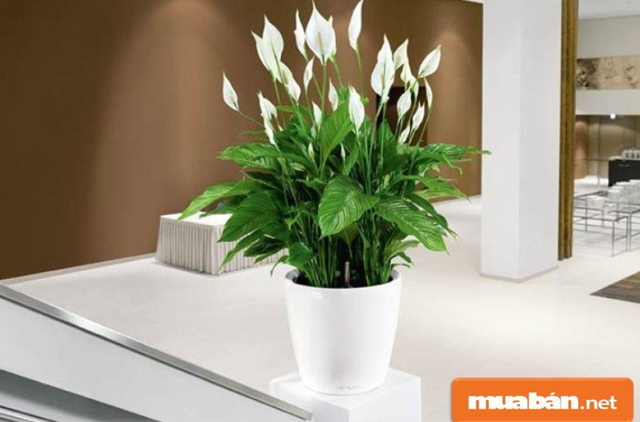 Cây lan ý có hoa màu trắng khá đẹp, có hình trái tim tượng trưng cho niềm hạnh phúc.