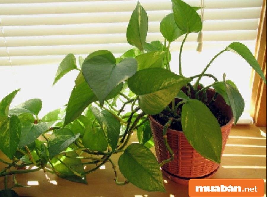 Cây trầu bà trồng trong nhà rất tốt cho không khí, dễ sống và cũng dễ chăm.