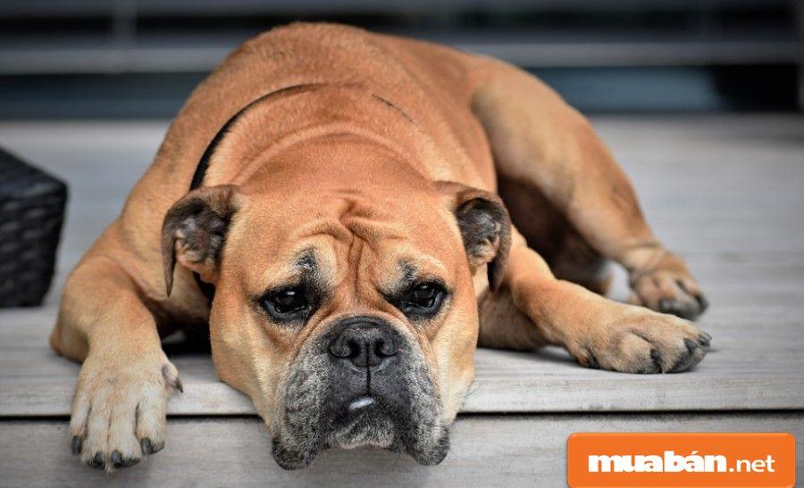 Bạn hãy thử tìm hiểu xem bạn thích giống chó cảnh nào trước khi quyết định mua nhé!