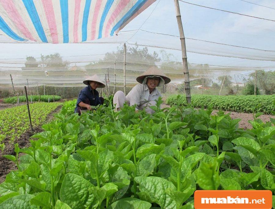 Hóc Môn đang có chủ trương phát triển kinh tế nông nghiệp theo hướng đô thị hiện đại.
