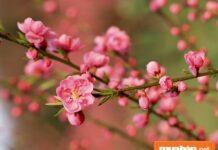 Hoa đào ngày Tết và cách giữ đào đẹp lâu nhất!