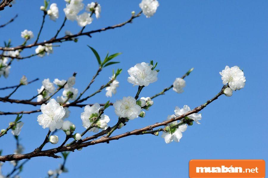 Bạch đào là loại hoa đào khá đặc biệt và hiếm có vì nó khó trồng nên giá cũng rất cao.