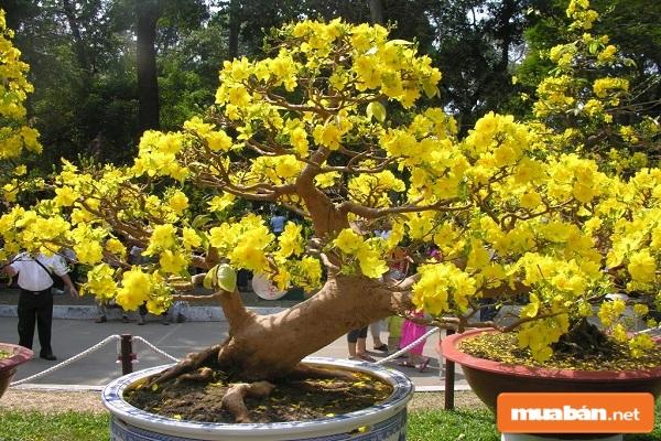 Cách chăm sóc cây mai bị suy yếu như thế nào?