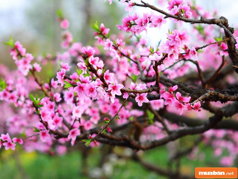 hoa đào ngày Tết 02