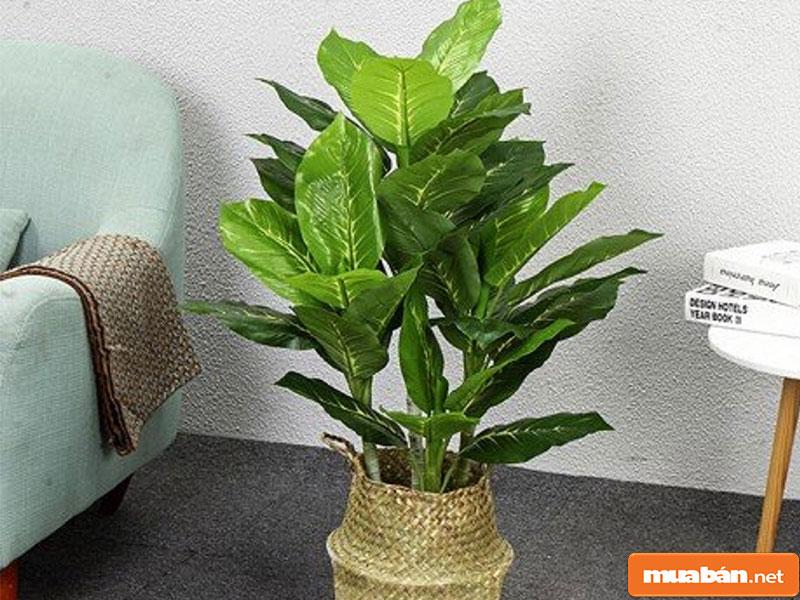 cây phong thủy trồng trong nhà 011