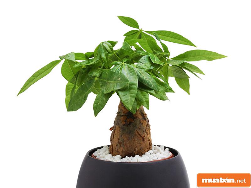 cây phong thủy trồng trong nhà 012