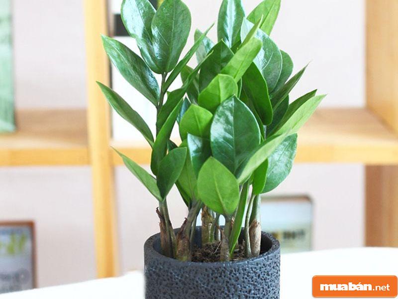 cây phong thủy trồng trong nhà 02