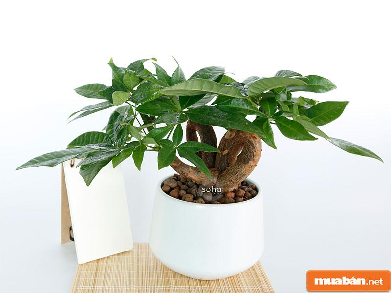 cây phong thủy trồng trong nhà 03
