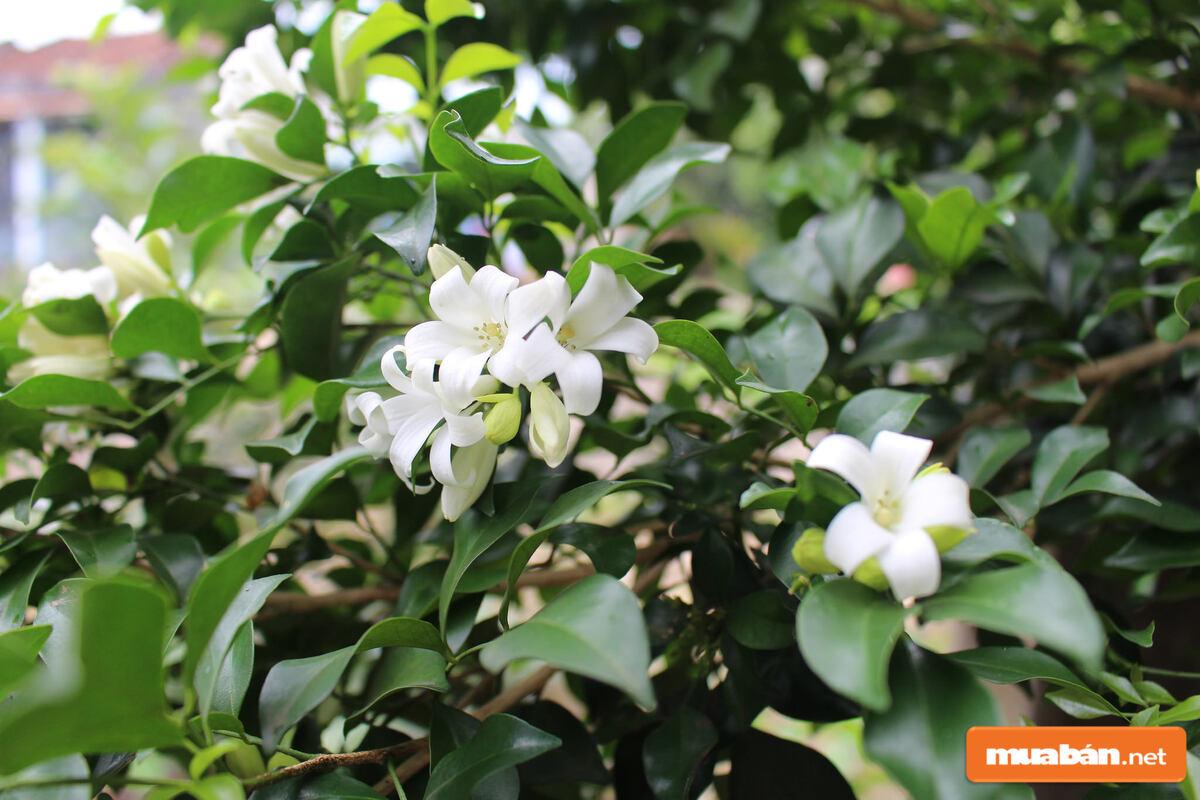 Loài cây này thường được sử dụng làm cảnh