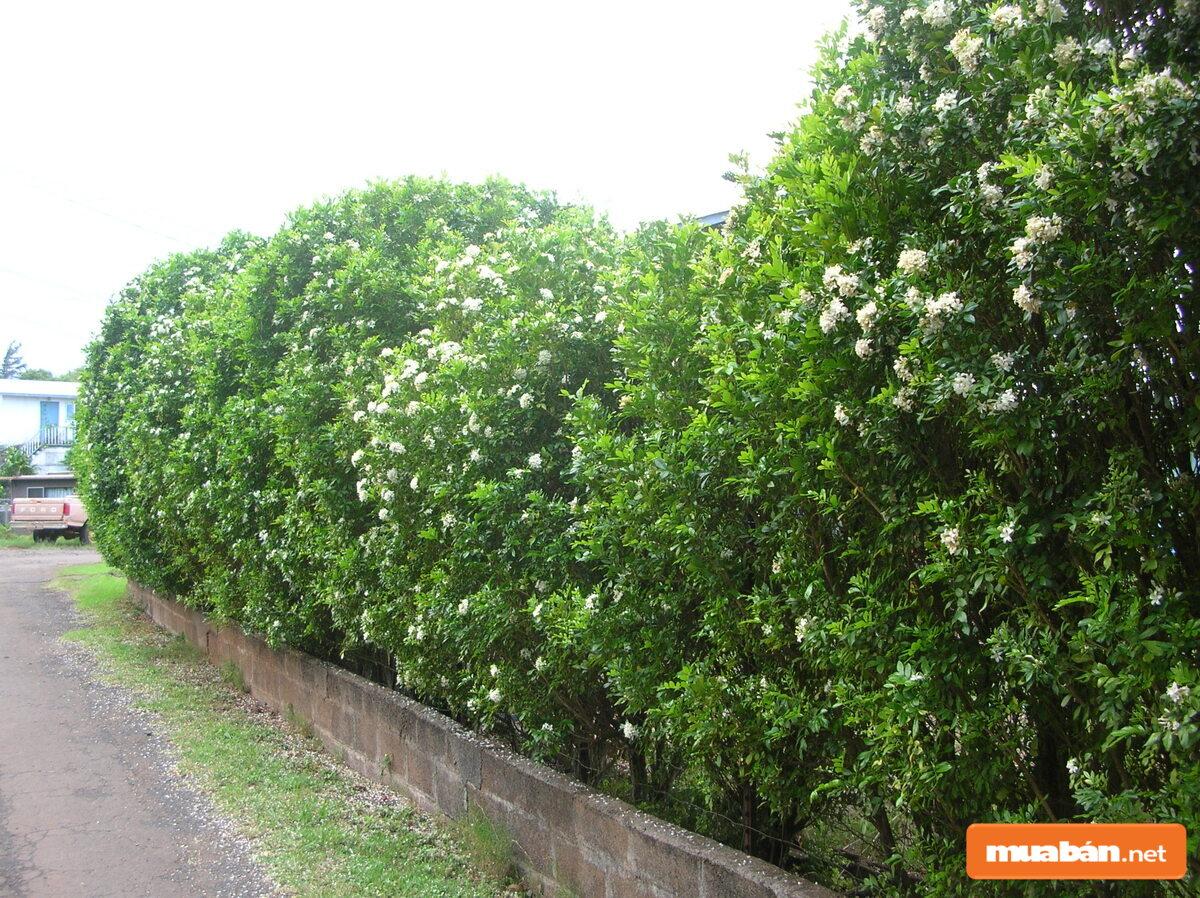 Có khá nhiều loại nguyệt quế khác nhau đang được trồng rộng rãi