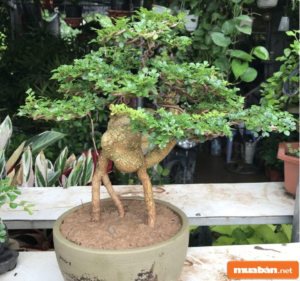 Trong phong thủy, cây này trồng giúp mang nhiều tài lộc, sự thăng tiến trong công việc.