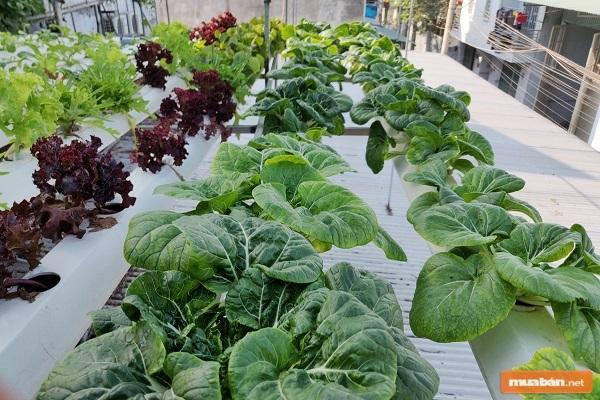 Hiện tại, rất nhiều người có mong muốn trồng rau trên sân thượng