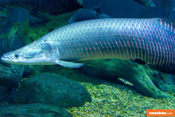 cá hải tượng 01