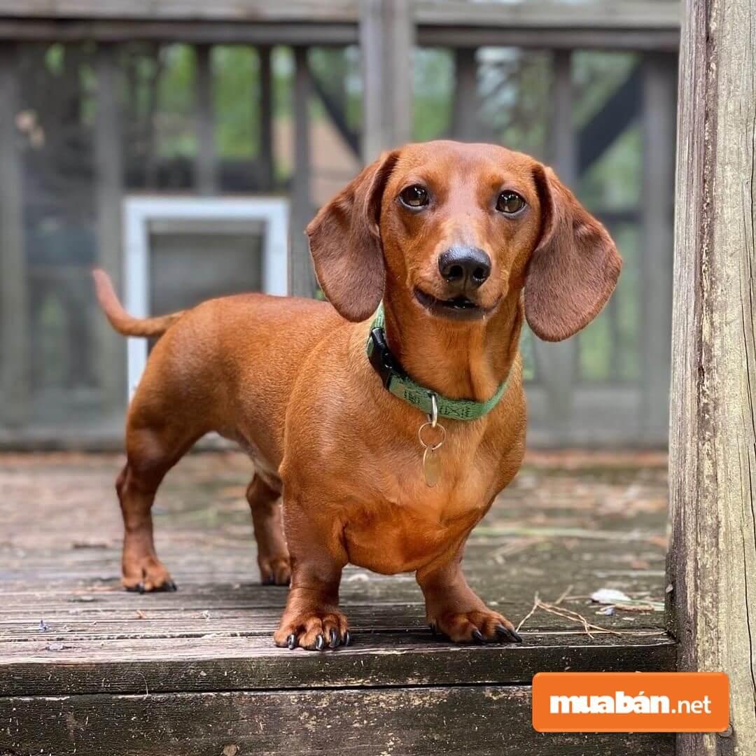 Chó lạp xưởng hay còn gọi là dachshund chó xúc xích.