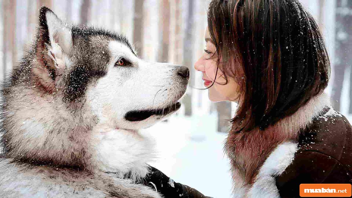 Chó Alaska 02