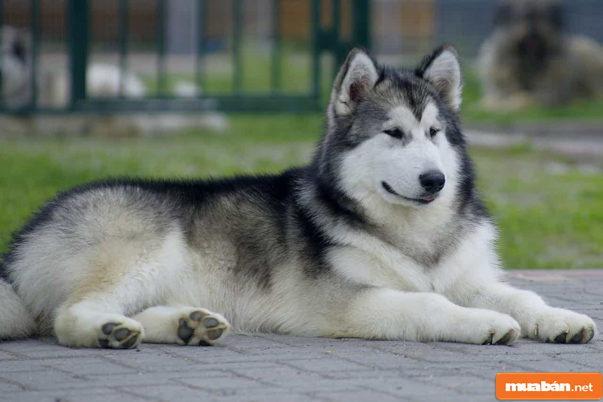 Chó Alaska 03