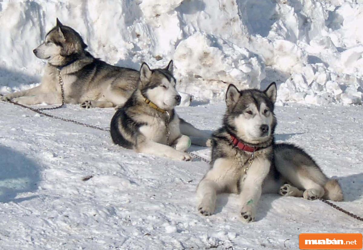Chó Alaska 04