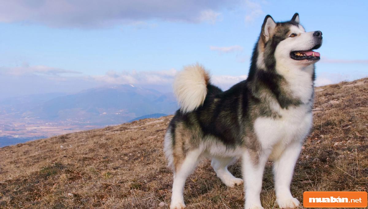 Chó Alaska 05